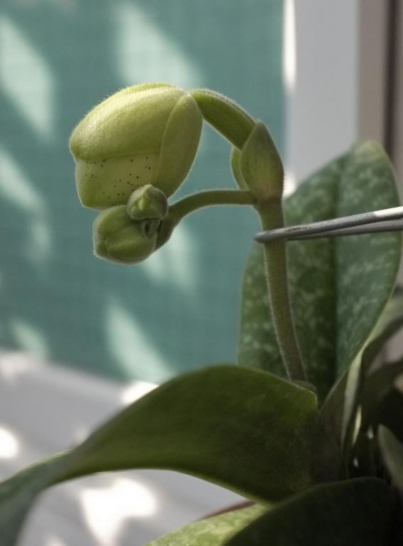 Paph. concolor in bloom-paph-concolor-5-jpg