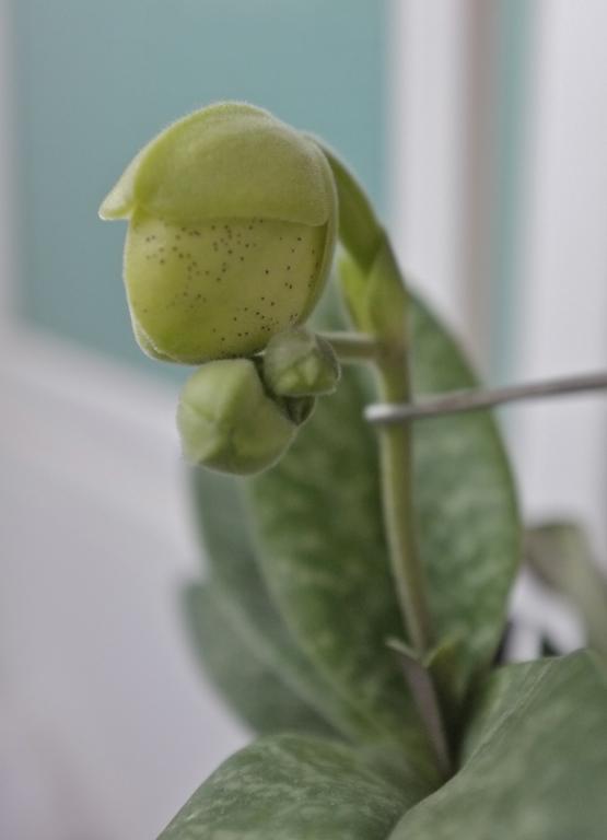 Paph. concolor in bloom-paph-concolor-8-jpg