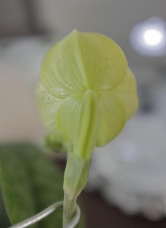 Paph. concolor in bloom-paph-concolor-14-jpg