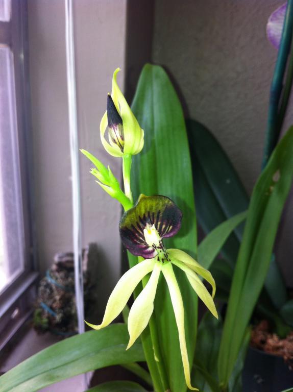 """Enc. """"Green Hornet"""" bloom.-img_0155-jpg"""