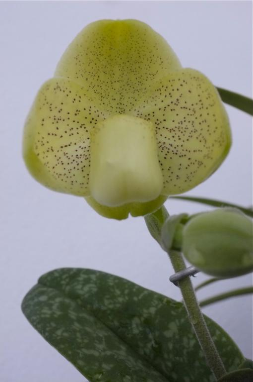 Paph. concolor in bloom-paph-concolor-20-jpg