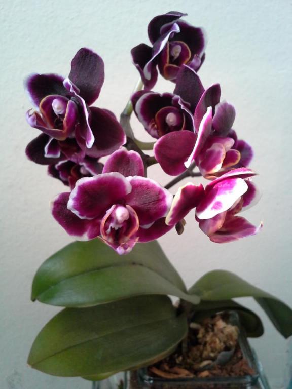 Confusing Phalaenopsis-orchid-1-jpg