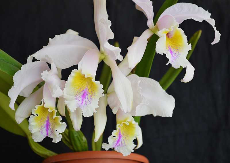Cattleya mossiae-cattleya-mossiae-1-jpg