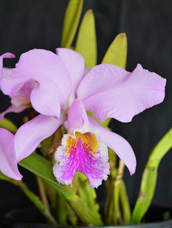 Cattleya mossiae-cattleya-mossiae-2-jpg