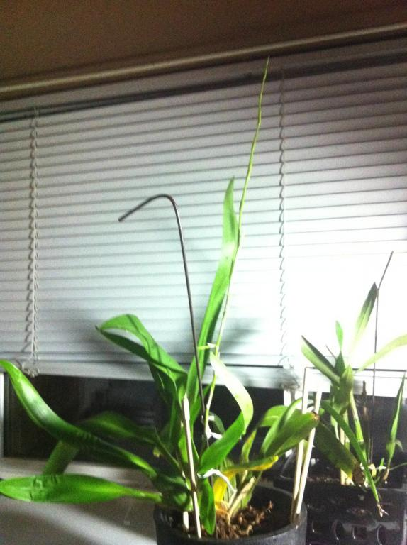 yellowing on one section of my just spiking oncidium!! HELP-image-1-jpg