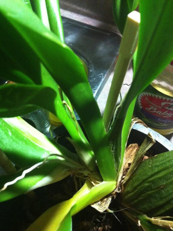 yellowing on one section of my just spiking oncidium!! HELP-image-jpg