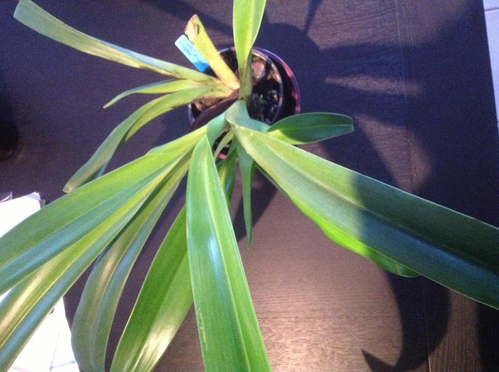 Phragmipedium Longifolium x Sangeriki brown spots-image-jpg