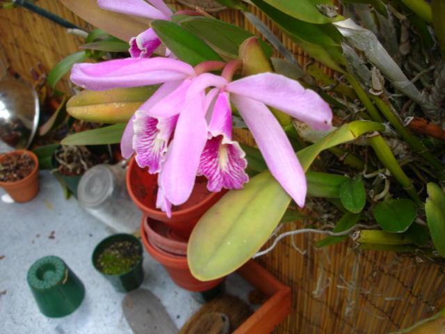 Cattleya maxima?-dsc08369-jpg