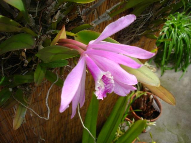 Cattleya maxima?-dsc08374-jpg