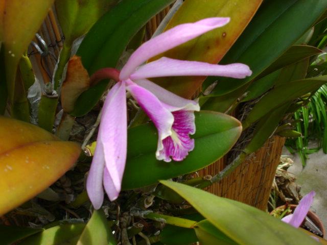 Cattleya maxima?-dsc08376-jpg