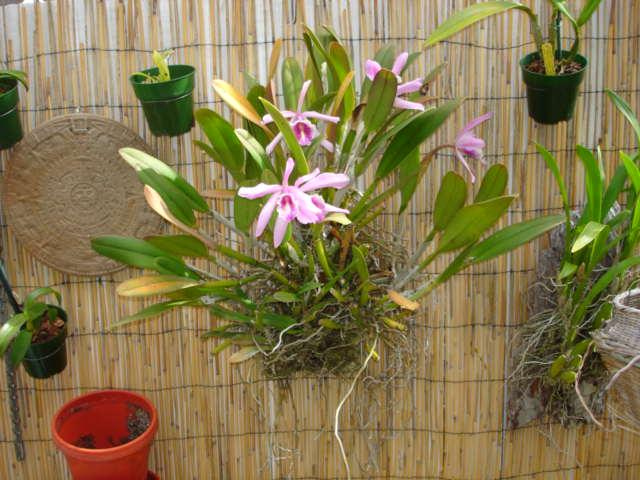 Cattleya maxima?-dsc08377-jpg