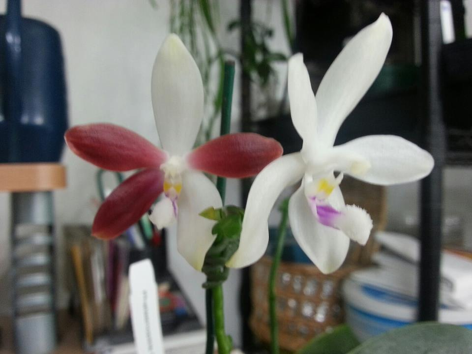 What on earth????!!!!! My phal changed color-phal-tetraspis-jpg