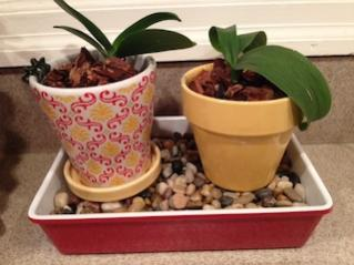 Leaf & Root Issues - Mini Phal - Newbie-pot-tray-jpg