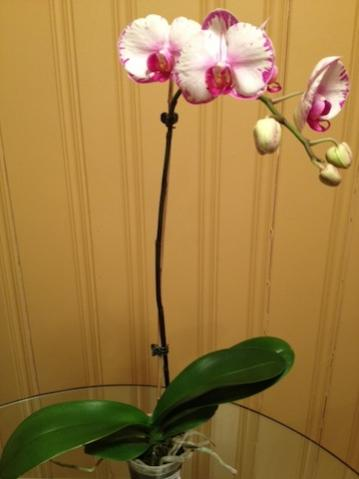 New Phals - Repot or Be Patient?-pink-phal-jpg