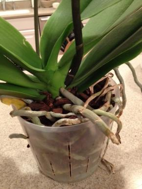 New Phals - Repot or Be Patient?-white-phal-roots-jpg