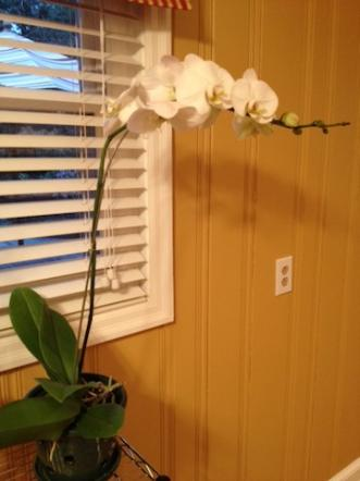 New Phals - Repot or Be Patient?-white-phal-jpg