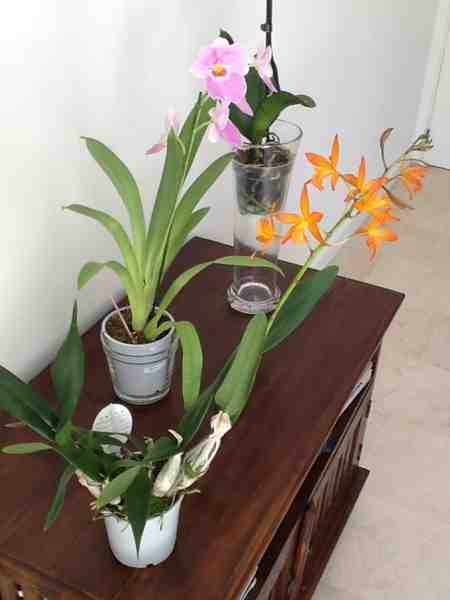 New NoId Cattleya-imageuploadedbytapatalk1367414266-384972-jpg