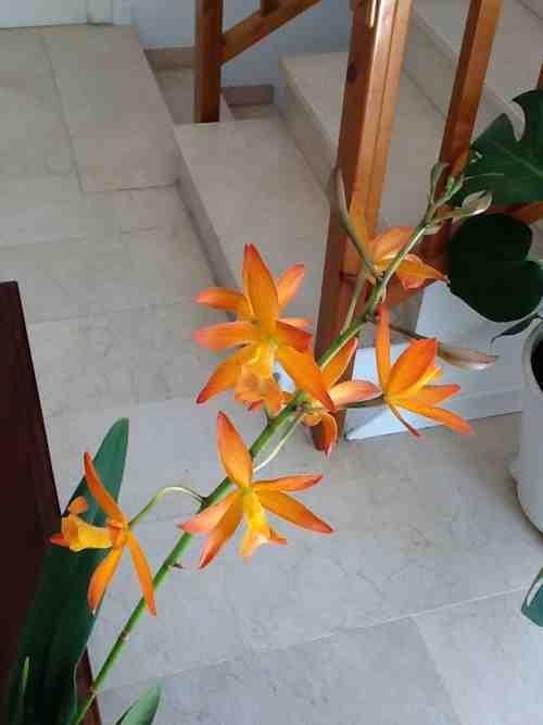 New NoId Cattleya-imageuploadedbytapatalk1367414278-036299-jpg