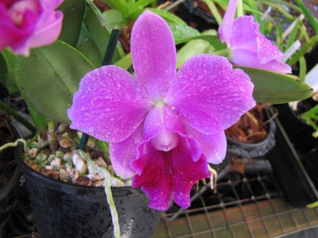 C. Mini Purple 'Castle Creek'-img_0540-jpg
