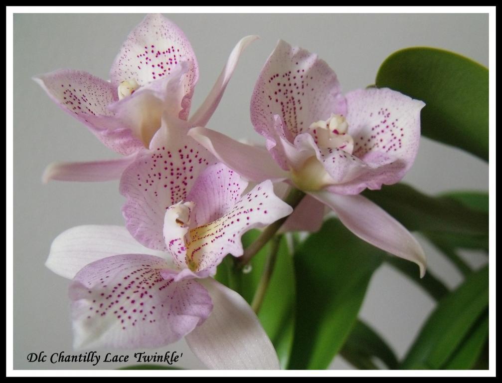 Dlc Chantilly Lace'Twinkle'-chantilly-lace-twinkle-jpg