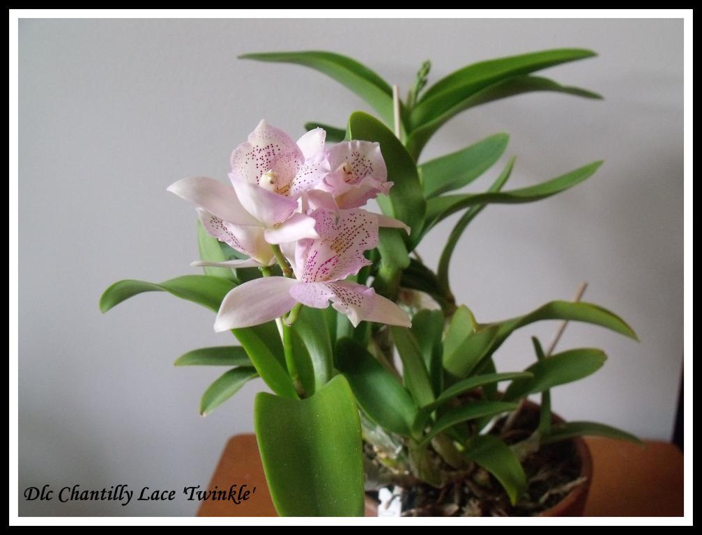 Dlc Chantilly Lace'Twinkle'-chantilly-jpg