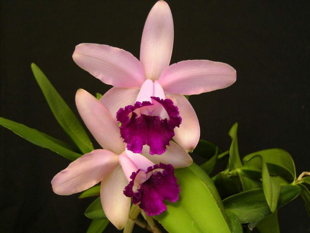 C. intermedia orlata 'Rio'-orlata-rio-jpg