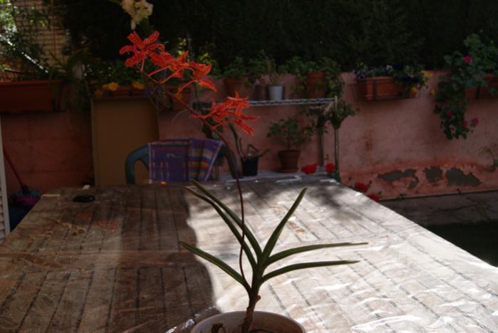 Renanthera monachica-renanthera-monachica-jpg