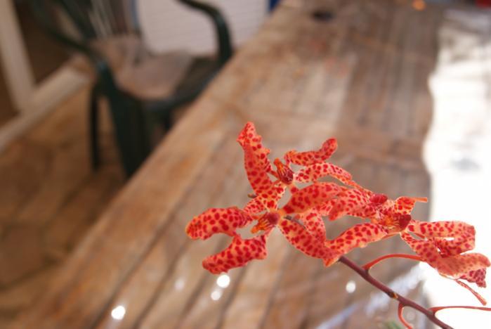 Renanthera monachica-renanthera-monachica_2-jpg