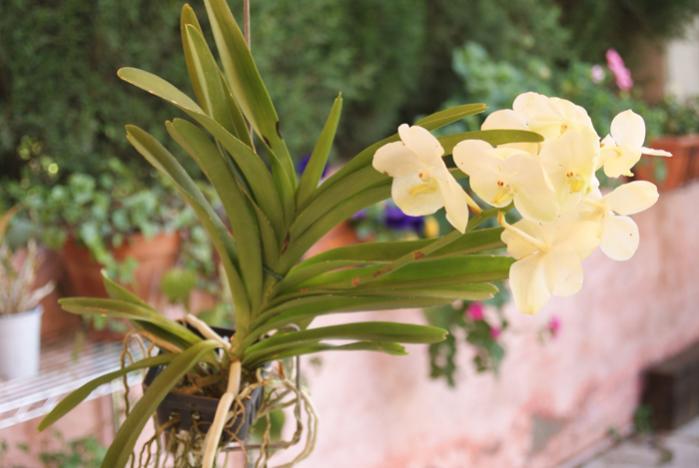 White NoId Vanda-vanda-blanca_2-jpg