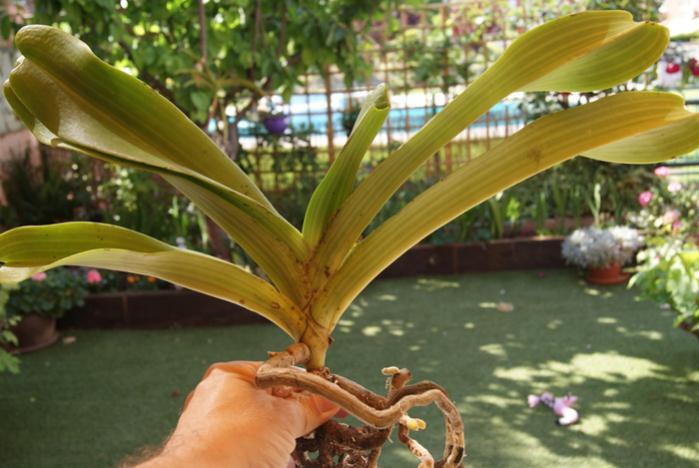 Rhyncostylis gigantea alba and spots-rhyncostilis-giganta-alba-jpg