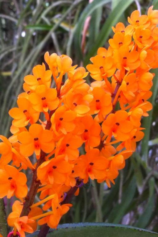 What's your favourite vanda in your collection?-garayii-jpg