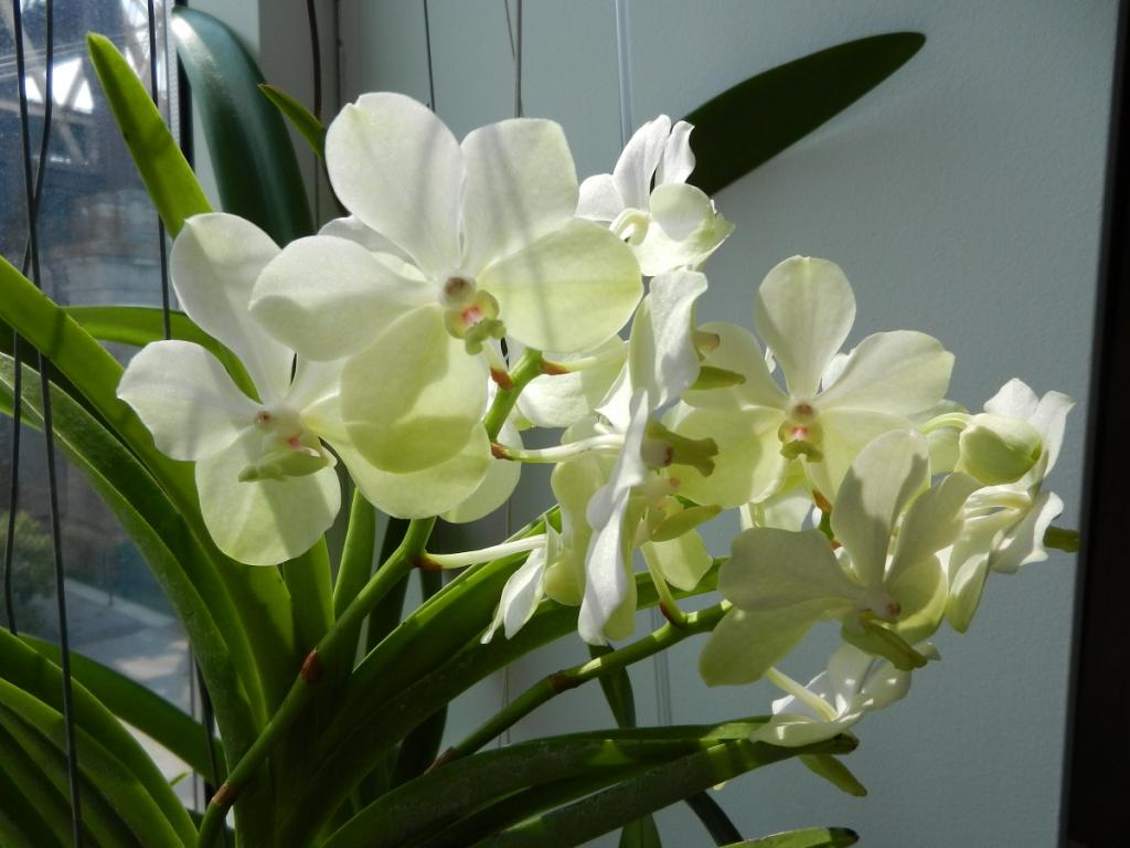 What's your favourite vanda in your collection?-ascdprincessmikasawhite-jpg