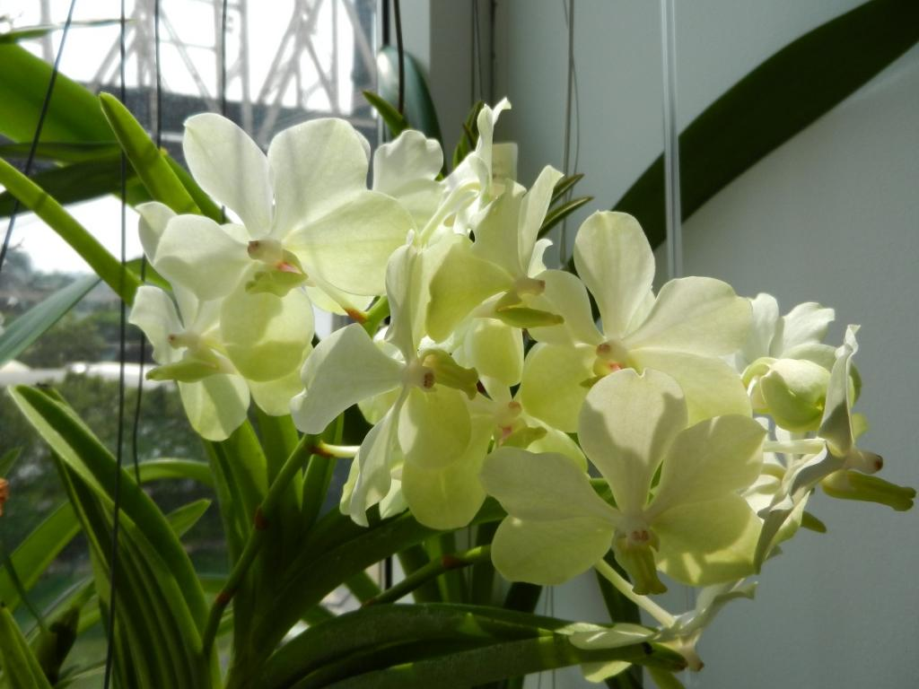 What's your favourite vanda in your collection?-dscn3688-jpg