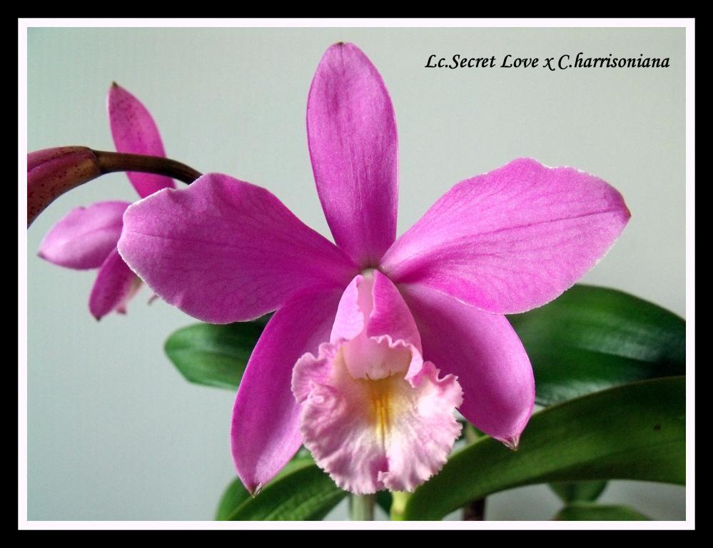Lc.Secret Love x C.harrisoniana-lc-secret-love-harrisoniana-jpg