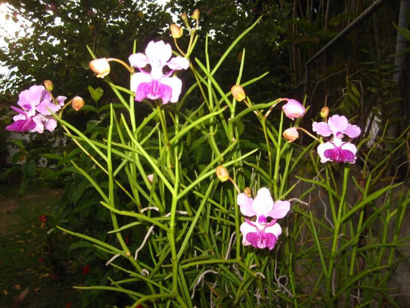 V. Amy (V. tricuspidata x V. Hookeriana) Rare-img_0128-copy-jpg