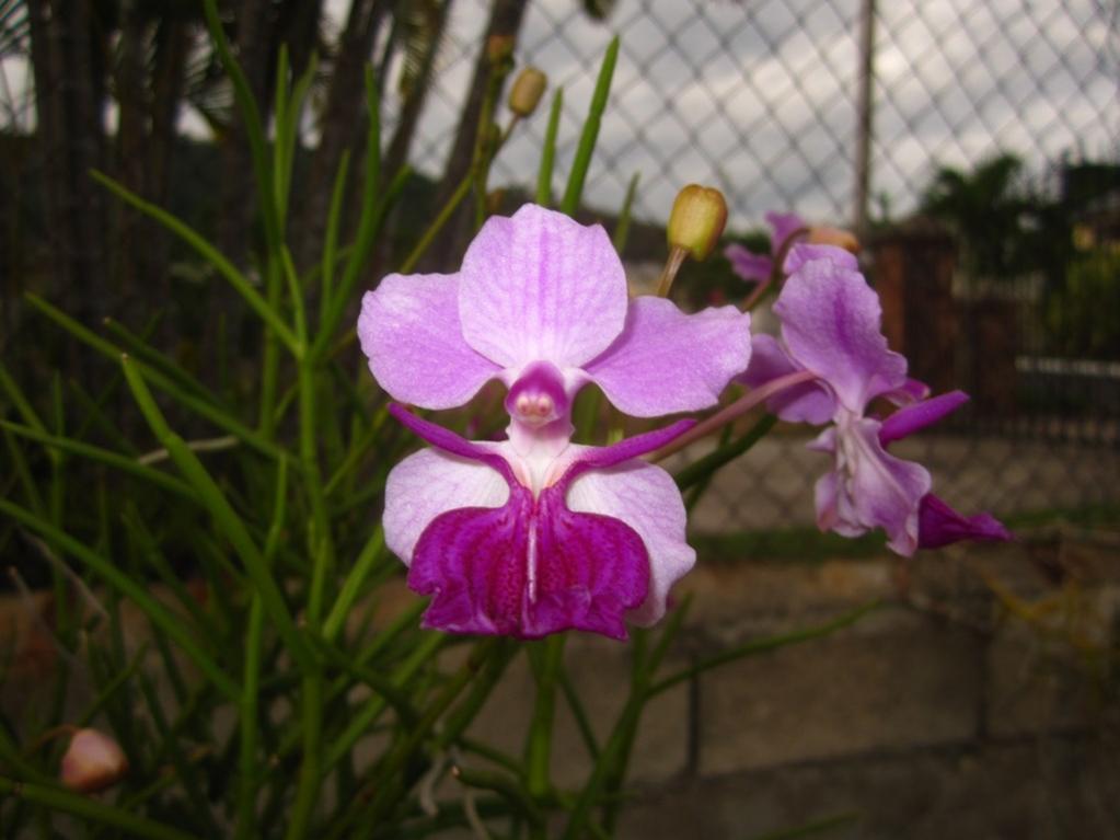 V. Amy (V. tricuspidata x V. Hookeriana) Rare-img_0133-copy-jpg