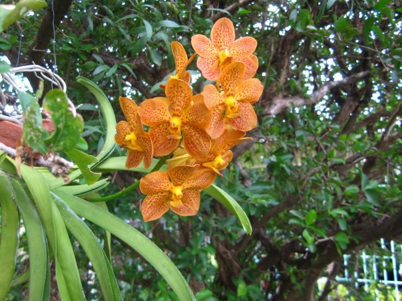 Ascda Crownfox Delicious Marmalade-img_0122-copy-jpg