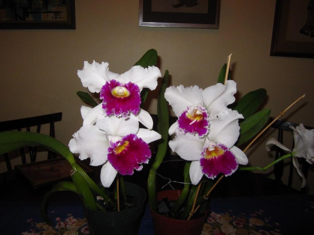 Lc. Jamaica Souvenir 'Elizabeth' x Lc. Mildred Rives 'Orchidglade' AM/AOS-img_0079-copy-jpg