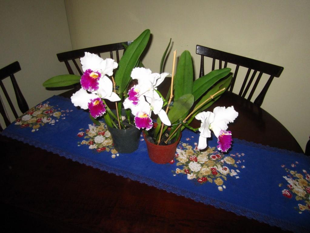 Lc. Jamaica Souvenir 'Elizabeth' x Lc. Mildred Rives 'Orchidglade' AM/AOS-img_0081-copy-jpg