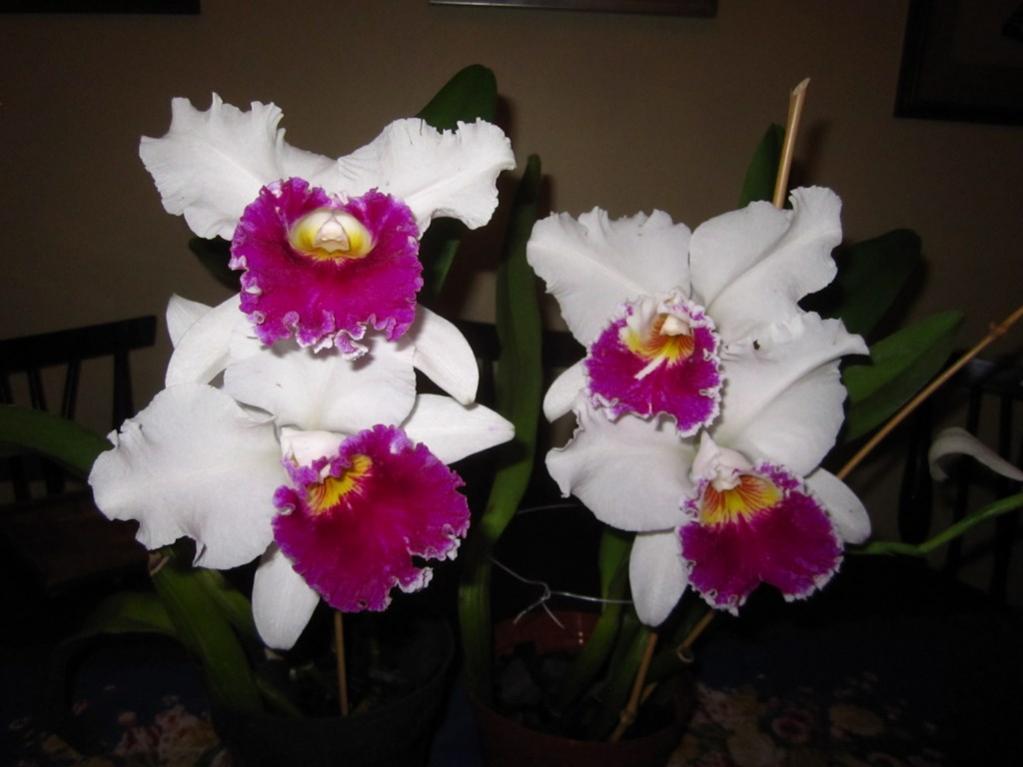 Lc. Jamaica Souvenir 'Elizabeth' x Lc. Mildred Rives 'Orchidglade' AM/AOS-img_0083-copy-jpg