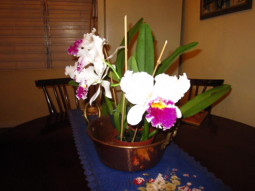Lc. Jamaica Souvenir 'Elizabeth' x Lc. Mildred Rives 'Orchidglade' AM/AOS-img_0087-copy-jpg
