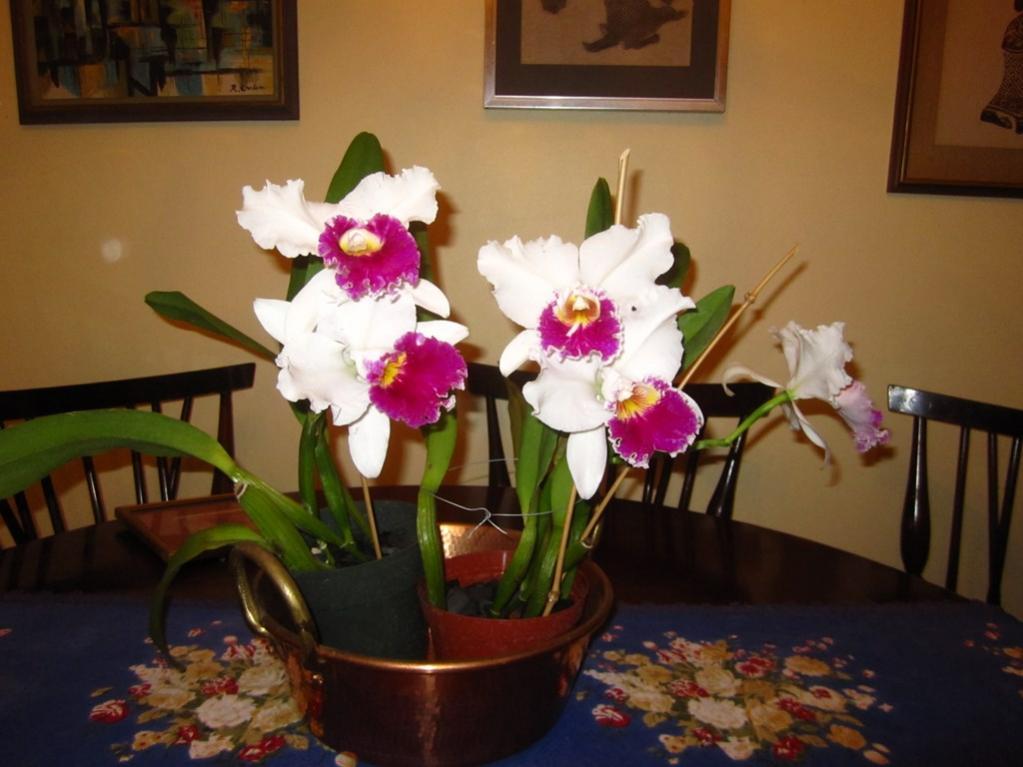 Lc. Jamaica Souvenir 'Elizabeth' x Lc. Mildred Rives 'Orchidglade' AM/AOS-img_0088-copy-jpg
