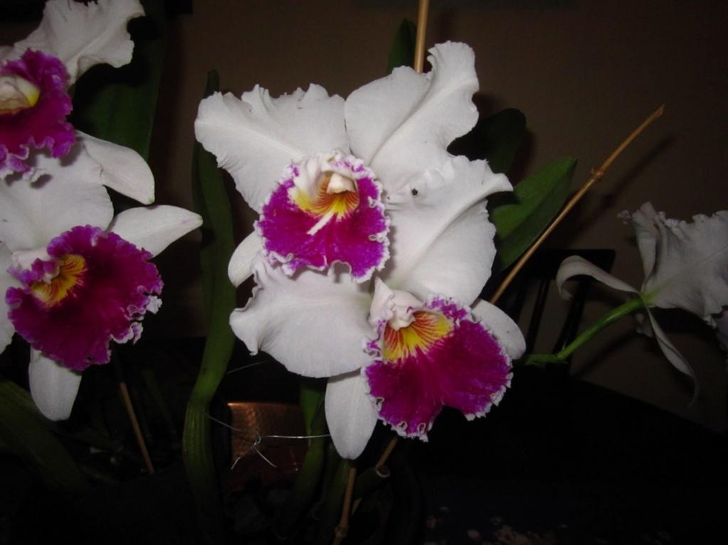 Lc. Jamaica Souvenir 'Elizabeth' x Lc. Mildred Rives 'Orchidglade' AM/AOS-img_0092-copy-jpg