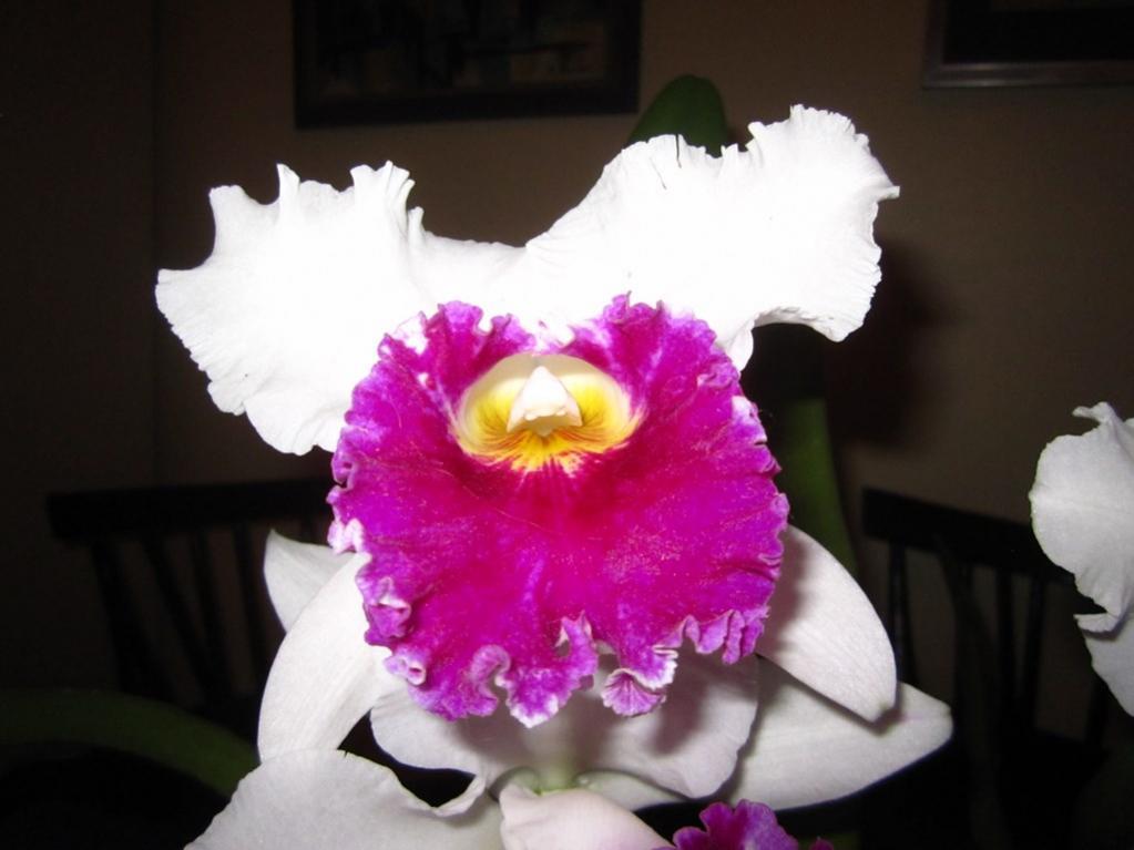 Lc. Jamaica Souvenir 'Elizabeth' x Lc. Mildred Rives 'Orchidglade' AM/AOS-img_0093-copy-jpg