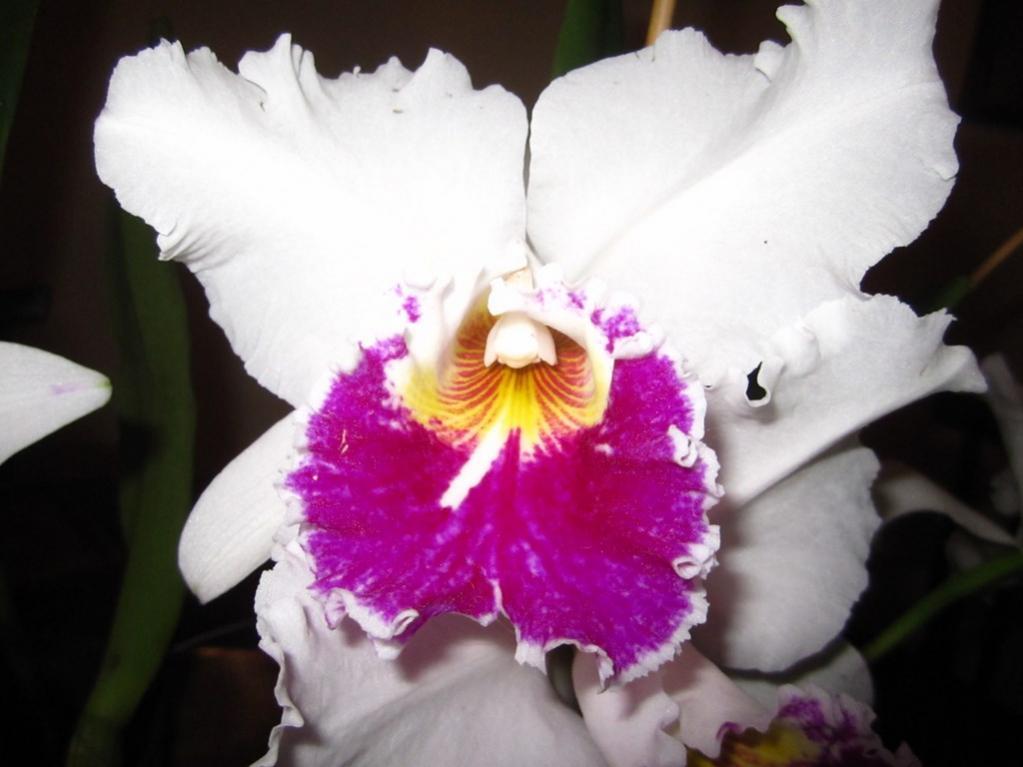 Lc. Jamaica Souvenir 'Elizabeth' x Lc. Mildred Rives 'Orchidglade' AM/AOS-img_0095-copy-jpg