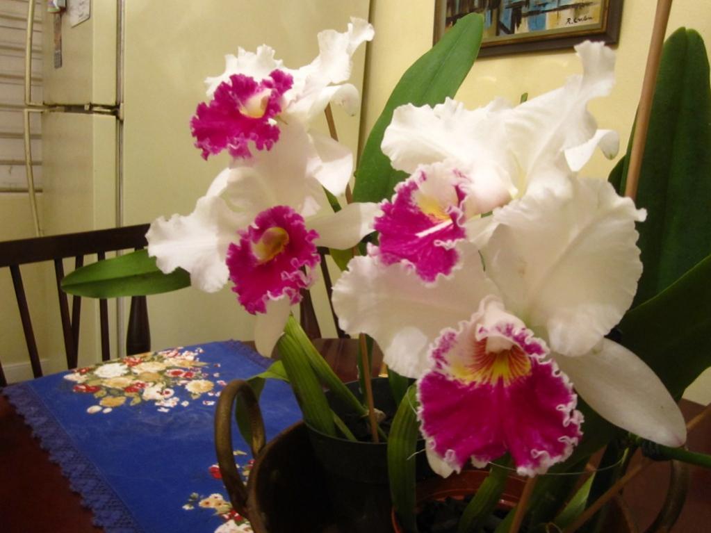 Lc. Jamaica Souvenir 'Elizabeth' x Lc. Mildred Rives 'Orchidglade' AM/AOS-img_0097-copy-jpg