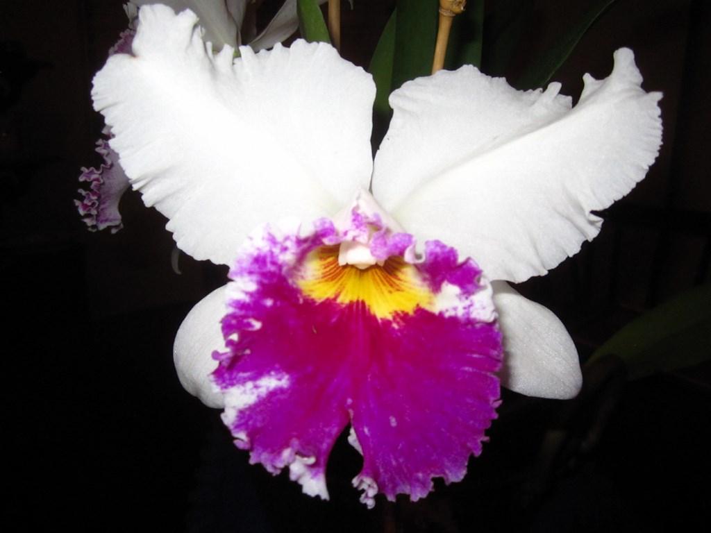 Lc. Jamaica Souvenir 'Elizabeth' x Lc. Mildred Rives 'Orchidglade' AM/AOS-img_0099-copy-jpg