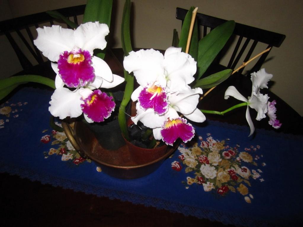 Lc. Jamaica Souvenir 'Elizabeth' x Lc. Mildred Rives 'Orchidglade' AM/AOS-img_0100-copy-jpg