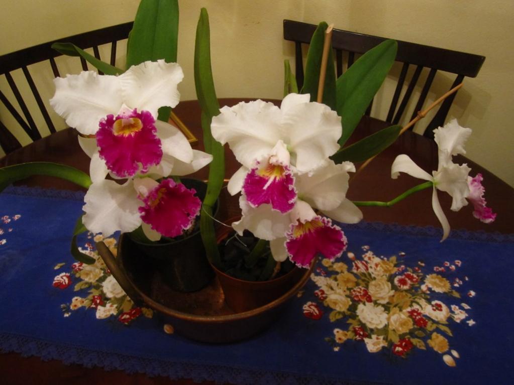 Lc. Jamaica Souvenir 'Elizabeth' x Lc. Mildred Rives 'Orchidglade' AM/AOS-img_0102-copy-jpg