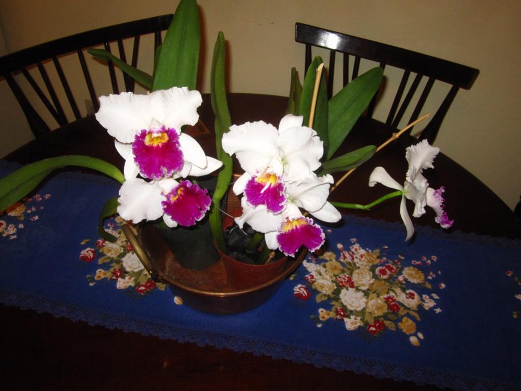 Lc. Jamaica Souvenir 'Elizabeth' x Lc. Mildred Rives 'Orchidglade' AM/AOS-img_0106-copy-jpg